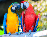 2 Macaws Sharing a Look