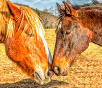Two Wild Horses in Cades Cove in The Great Smoky Mountain National Park