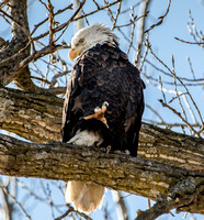 American Bald Eagle in  Tree at Lock and Dam 14 near DavenPort, Iowa